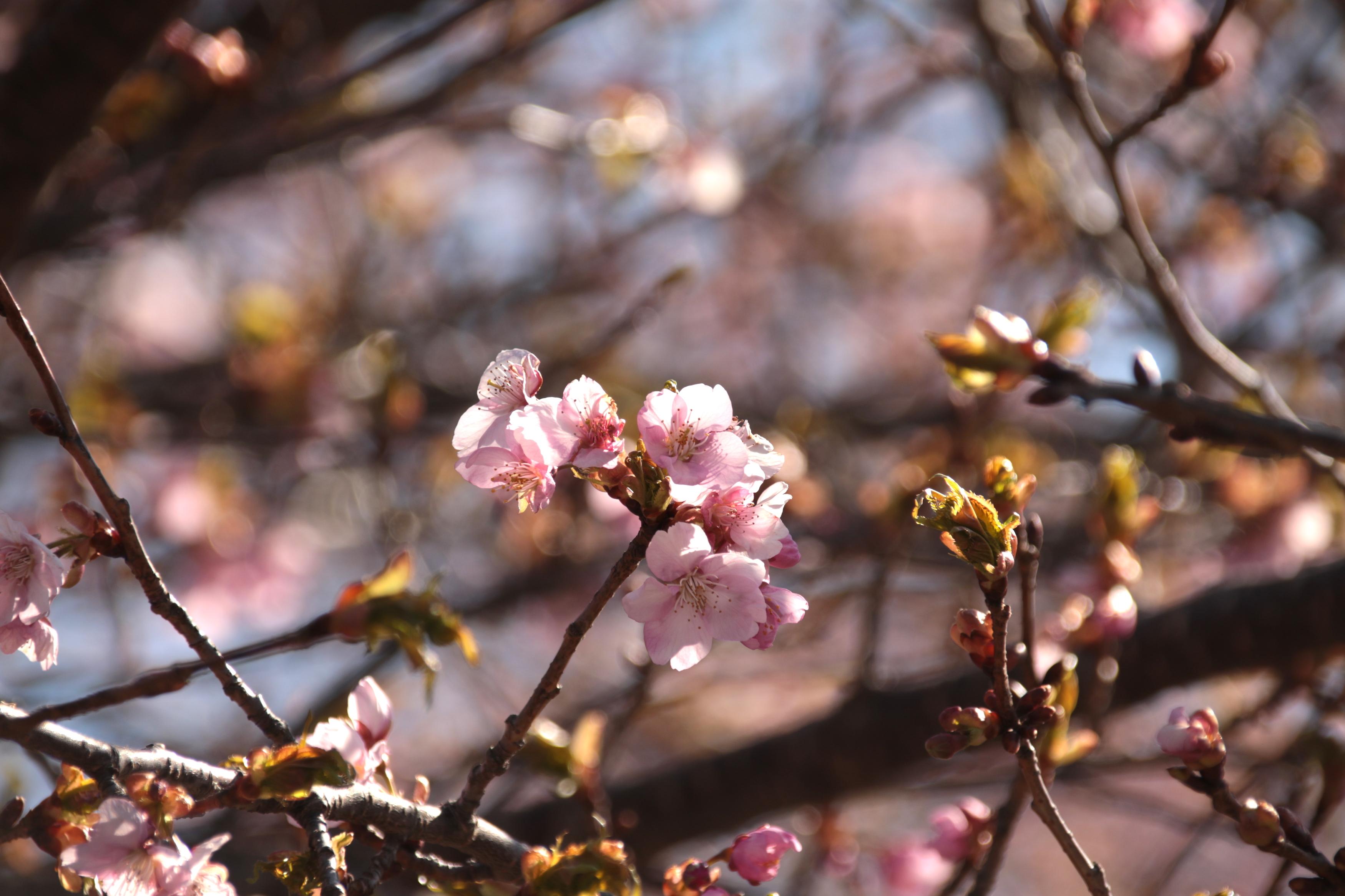 4月13日 桜巡り『滝桜〜塩ノ崎の大桜〜合戦城城のしだれ桜』